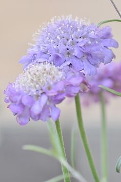 lavender scabiosa • heavenly