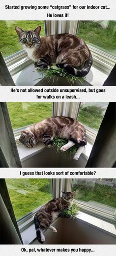 Indoor Cat Loves Cat grass - Cat memes - kitty cat humor funny joke gato chat captions feline laugh