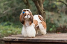 shih tzu haircuts, shih tzu puppy, shih tzu grooming, shih & Read More The post Shih Tzu Long Hair Dogs And Puppies appeared first on Hines Havanese. Perro Shih Tzu, Shih Tzu Hund, Baby Shih Tzu, Shih Tzu Puppy, Shih Tzus, Shih Tzu Long Hair, Pet Names For Dogs, I Love Dogs, Cute Dogs