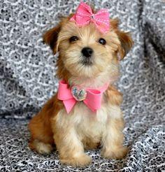 tiny teacup morkie puppy, so... cute!!!
