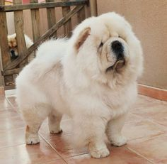 Chow chow dogs--just love white chows