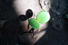 Gemüse das auch im Schatten gedeiht - Du hast einen schattigen Balkon oder dein Zimmerfenster ist zum Hof gelegen - kein Problem! heimgruen zeigt dir, wie du auch im Schatten gelegene Flächen zum Gemüseanbau nutzen kannst. http://www.heimgruen.de/blog/gemuese-das-auch-im-schatten-gedeiht/