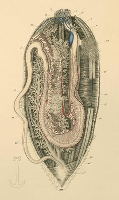 Section of an Echinodermata