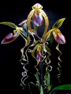 Paphiopedilum sanderianum x gigantifolium orchid slipper                                                                                                                                                                                 More #beautifulflowersnature