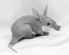 Baby aardvark! You don't see these too often :] haha. Very strange looking...like a hybrid.