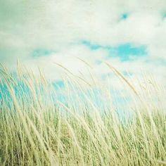 tall grass waving in the summer breeze
