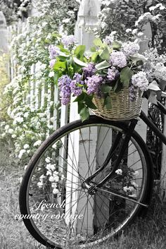 Fresh picks of lilacs and viburnum with a vintage bike find on French Country Cottage blog.