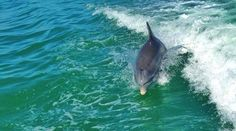 Sanibel Island, Florida Dolphin & Wildlife Cruise. Cruise out into one of the worlds largest dolphin populated waters and listen to our friendly and knowledgeable Naturalists talk about the areas natural beauty and diverse wildlife.