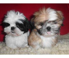 Imperial Shih Tzu Puppies Sale | Imperial ShihTzu puppies CKC registered | Male Shih-Tzu Puppy For Sale ...