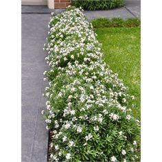 How Will Daphne Flower Bunnings Be In The Future Daphne Flower, Front Yard Landscaping, Hedges, Evergreen, Google Images, Paths, My House, Garden Design, Cool Photos