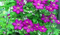 Bilde av KLEMATIS 'VILLE DE LYON' Lyon, Planters, Pictures, Plant, Window Boxes, Pot Holders, Flower Planters, Pots