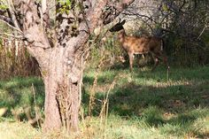 You Can't See Me Deer ~ A deer attempts invisibility in an apple grove near UMaine Orono.  Photo by Daryne Rockett.