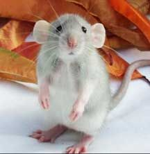 Dumbo Rat! This is the kind Kyla wants for her birthday! They are pretty cute!