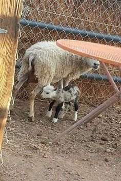 Meet Butterfly The Geep, An Extremely Rare Goat-Sheep Hybrid Born In Arizona