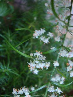 Fiori di Asparagina (Asparagus densiflorus 'Sprengeri') https://lefotodiluisella.blogspot.it/2017/07/Asparagus-fiori.html