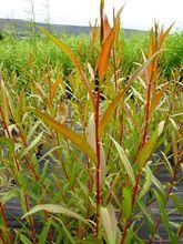 Salix Alba Vitellina (Golden Willow)