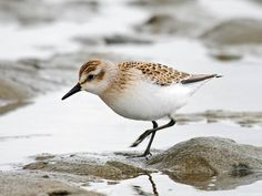 The Semipalmated Sandpiper is one of Audubon's priority birds along the Atlantic Flyway (Calidris semipalmatus)