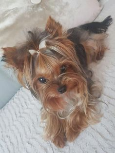 More About The Feisty Yorkshire Terrier Puppy Size Source by anxietyhi The post Yorkshire Terrier Care appeared first on McGregor Dogs. Yorkshire Terriers, Yorkshire Terrier Haircut, Boston Terriers, Yorkies, Yorkie Puppy, Pomeranian Dogs, Teacup Pomeranian, Yorky Terrier, Terrier Dogs