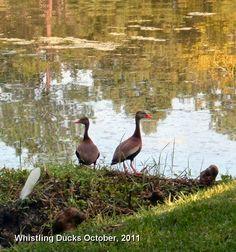 Whistling Ducks on the pond in Gainesville copyright Deborah Aldridge 2011 all rights reserved