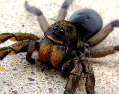 The Carolina Wolf Spider. Okay, cancel the future trip. This dude is too freaky. Wolf Spider, Bitsy Spider, A Bug's Life, Backyard Birds, Reptiles And Amphibians, Parlour, Spiders, Creepy, Insects
