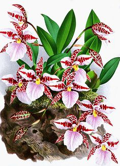 - Vick's & Other Botanicals - Orchidee Botanical Drawings, Botanical Illustration, Botanical Prints, Vintage Diy, Orchid Plants, Belleza Natural, Botany, Fabric Flowers, Painting & Drawing