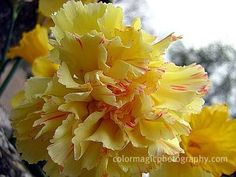 Striped Carnation Flower   Yellow carnation flowers-pictures of flowers