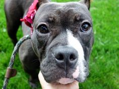 Manhattan Center PAPRIKA – A1039064 FEMALE, BLACK / WHITE, AMER BULLDOG MIX, 1 yr, 6 mos STRAY – STRAY WAIT, HOLD RELEASED Reason PERS PROB Intake condition UNSPECIFIE Intake Date 06/06/2015