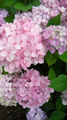 natural home decor Protea Flower, Hydrangea Flower, Flower Pots, Shabby Flowers, Pink Flowers, Wonderful Flowers, Beautiful Flowers, Flowers For Algernon, Pink Garden