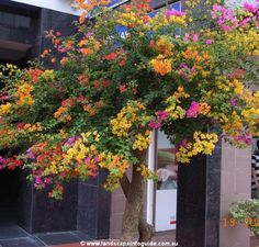 mixed color bougainvillea / Que hermosa!!!
