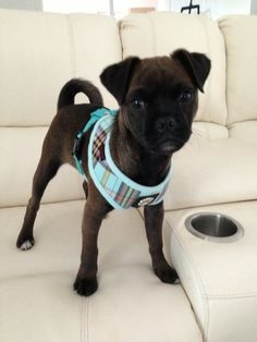 Jug puppy gorgeous
