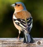 Den alfabetiska listan innehåller alla fåglar på fågelsång.se