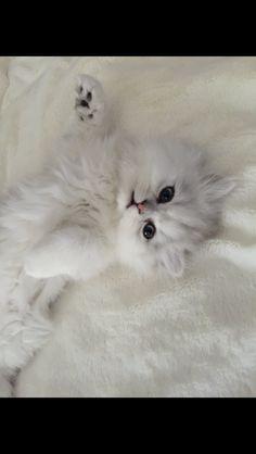 Maestro chaton persan de 3mois et demi