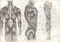 Image detail for -Tara Hale Illustration: Human Anatomy.