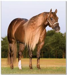 Footworks Hoss, AQHA Stallion Now why can't any of my horses manes grow like half as long as this!!