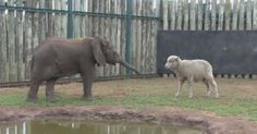 For A Rescued Elephant, This Sheep Truly Started The Healing. So Cute!