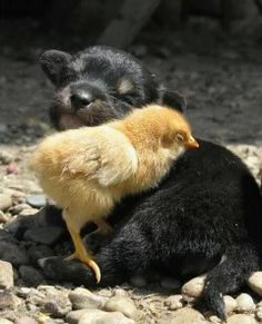 two babies puppy and chick / Awww, Just Cute! on imgfave