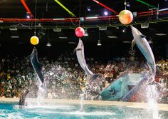 Our dolphins and seals love to play with balls and they are brilliant at balancing and catching. We think if they could practice any sports they would be cricket, football and basketball…..which is your favourite sport and why? دولفيناتنا وفقماتنا تحب أن تلعب بالطابات وتقوم بذلك ببراعة في التوازن والتقاط الطابات. نتخيل أنهم لو تدربوا على رياضة أخرى مثل الكريكت وكرة السلة سينجحون بالفعل...ما هي الرياضة التي سيبرعون بها ولماذا؟؟