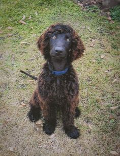 Irish Water Spaniel #IWS #Dog #Puppy
