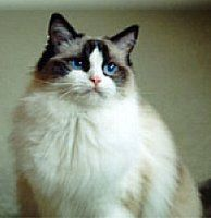 THIS LOOKS ALMOST EXACTLY LIKE MY CAT!!!! Ragdoll kitties<3