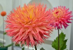 Probably my favourite dahlia of the day