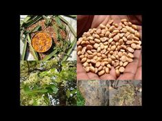 Medicinal Rice P5O Formulations for Spinifex Excess: Pankaj Oudhia's Med...