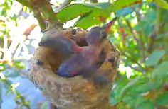Hummingbird chick checking that wing thing!