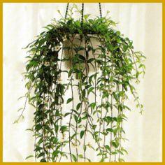 #Codonanthe, eine der problemlosesten #Ampelpflanzen.  Die Codonanthe hat lange hängende oder kriechende Triebe, die verzweigt, aber sehr dünn sind, die Blättchen sind dick und ein wenig fleischig.  http://www.gartenschlumpf.de/codonanthe/
