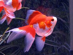 We have a large range of Ryukin for sale. Ryukin are a popular fancy goldfish, originally developed in Japan, Ryukin develop intense colours as they mature. This popular fancy goldfish originated in Japan, it develops intense colours as the fish matures Goldfish Care, Goldfish Aquarium, Pretty Fish, Beautiful Fish, Colorful Fish, Tropical Fish, Goldfish Breeding, Ryukin Goldfish, Coldwater Fish