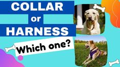 Collar vs harness, in this video we will talk about the different puppy collars, and dog harnesses to use with puppy walking and training. If you're puppy training and want to take your dog walking you'll want to pick the right dog harness or puppy collar. If your dog is pulling, find out which tool is better to use. You'll also learn how to fit a collar and size a harness. Run To You, Puppies Tips, Puppy Collars, Help Teaching, How To Train Your, New Puppy, Dog Harness, Dog Walking, Training Programs