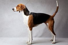 Jewel the American Foxhound. Jewel, registered as Kiarrys Pandoras Box, is owned by Ellen M. Charles and Lisa Miller. (Fred R. Conrad, a New York Times photographer, set up a studio at the 2013 Westminster Kennel Club dog show and invited Best of Breed winners to pose.)