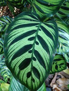 Plantscape ♥Calathea makoyana.