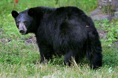In this Wednesday Aug. 1, 2007 file photo, a black bear is seen in Lyme, N.H. - AP Photo/Cheryl Senter.  1-22-15
