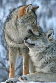 Wolves can be affectionate towards one another.