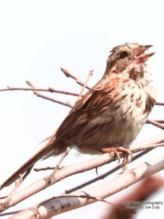 Dubbed as the littlest serenader this song sparrow may always take us by surprise if up in a tree cause you never know when one is gonna come behind you and chirp TWEET TWEET TWEET TWEEEEEEEEEEEEET. Flash Photography, Photography Photos, Song Sparrow, National Geographic, Tweet Tweet, Nature, Animals, Naturaleza, Animales